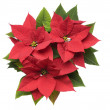 Poinsettia Plant - Stock Photo