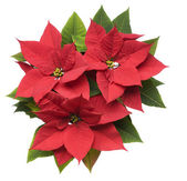 Poinsettia Plant — Stock Photo