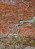 Old brick wall and tree roots — Stock Photo