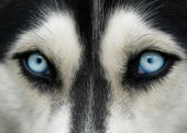 Dog blue eyes — Stock Photo
