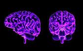 脳の正面と側面 — ストック写真