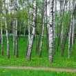 Royalty-Free Stock Photo: Birch-wood. Spring landscape.