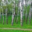 Birch-wood. Spring landscape. — Stock Photo