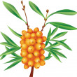 Branch of sea-buckthorn berries with berries — Stock Vector