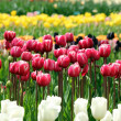 Stock Photo: Red and pink tulips in flower meadow