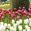 Red and pink tulips in a row in front of a tree — Stock Photo