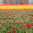 Stock Photo: Blured red tulips field