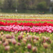 Stock Photo: Blured colourful tulips field
