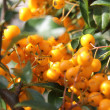 Rowanberry — Stock Photo #8264864
