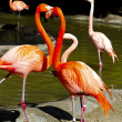 Caribbean Flamingos — Stock Photo
