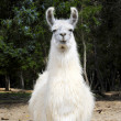 Stock Photo: White Llama