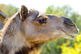 Profile of a Camel — Stock Photo