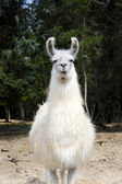 White Llama — Stock Photo
