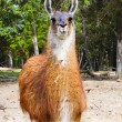 Portrait of a Llama — Stock Photo