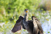 Double Crested Cormorant — Stockfoto