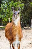 Portrait of a Llama — Stock Photo