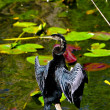 Royalty-Free Stock Photo: Anhinga