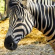 Damara Zebra — Stock Photo
