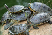 Group of red-eared slider turtles sitting on a stone in the zoo — Stock Photo