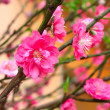 Stock Photo: Plum Blossom