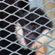 Close-up of Hooded Capuchin Monkey contemplating life behind b — Stock Photo #8154319