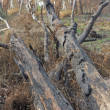 Charred trunks of trees after fire — Stock Photo