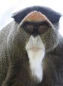 De Brazza's Monkey — Stock Photo