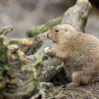 Prairie Dog — Stock Photo #8416762
