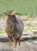 Close up of a Pudu — Stock Photo