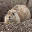 Prairie Dog — Stock Photo #8513360