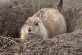 Prairie Dog — Foto Stock