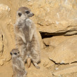 Close up of a Meerkat Family — Stock Photo