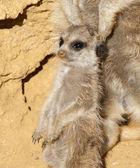 Close up of a Baby Meerkat — Stock Photo