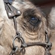 Close up of a Camel&#039;s eye - Stock fotografie