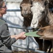 Camels Feeding - Stock fotografie