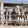 Herd of Camel's — Stock Photo