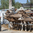 Camels Feeding — Stock Photo