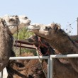 Group of Camel's — Stock Photo