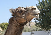 Close up of a Camel — Stock Photo
