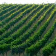 Stock Photo: Vineyard in Italy