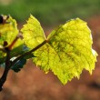Vine leaf in the vineyard — Stock Photo