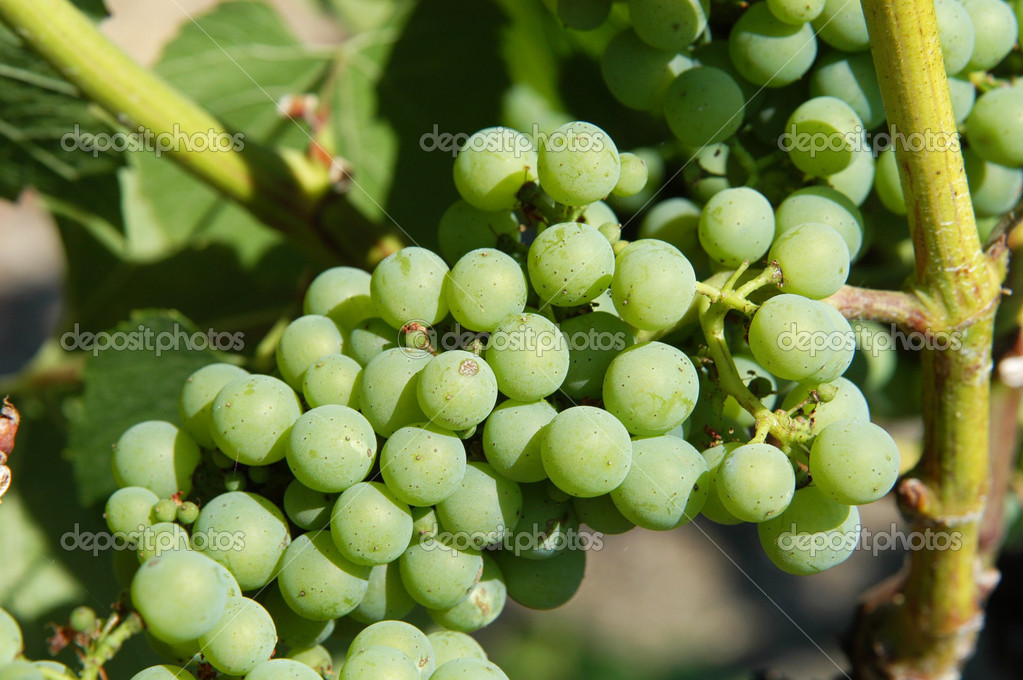 Bunch of grapes in a Californian vineyard  Stock Photo #8842781