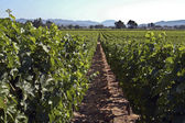 Californian vineyard — Stock fotografie