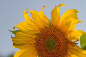 Sunflower in the sun — Stock Photo