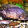 Tropical fish cichlid — Stock Photo