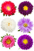 Six different asters — Stockfoto