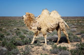 Molting white bactrian camel — Stock Photo