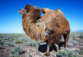 Molting brown bactrian camel — Stock Photo
