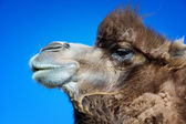 Portrait of brown bactrian camel — Stock Photo
