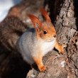 Squirrel on a tree — Foto Stock